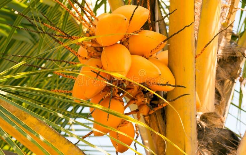 Grupos do coco do rei dos cocos da palma foto de stock