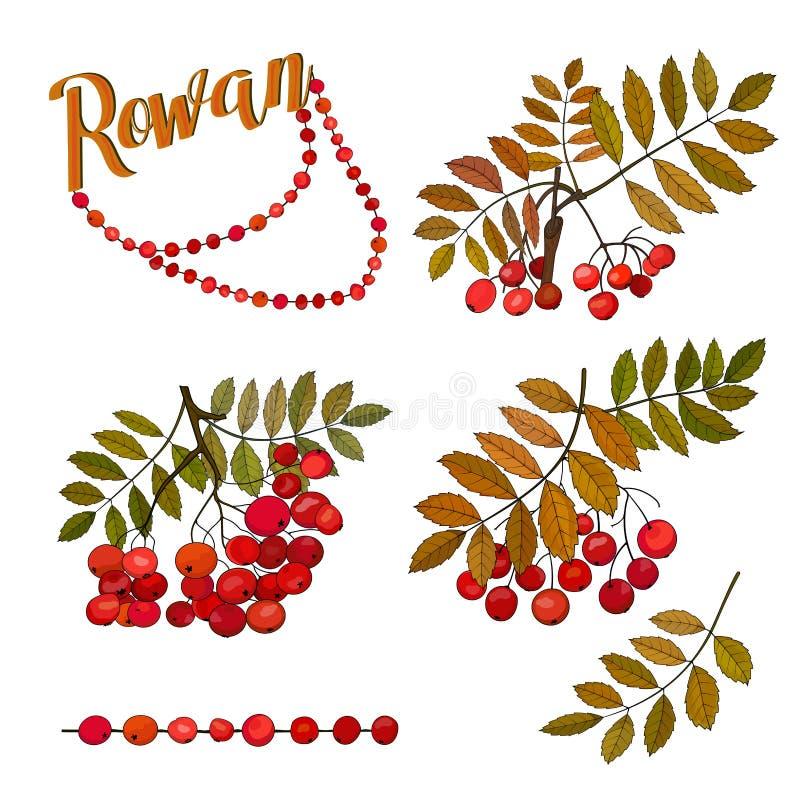 Grupos do outono de bagas de Rowan nos ramos com folhas e grânulos de Rowan ilustração stock