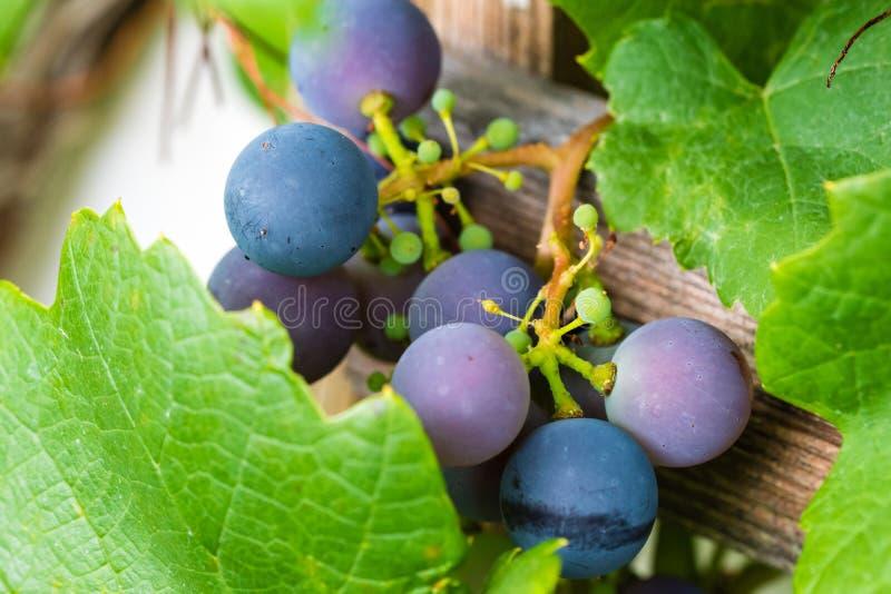 Grupos frescos e maduros das uvas do vinho tinto que crescem no jardim clo imagem de stock