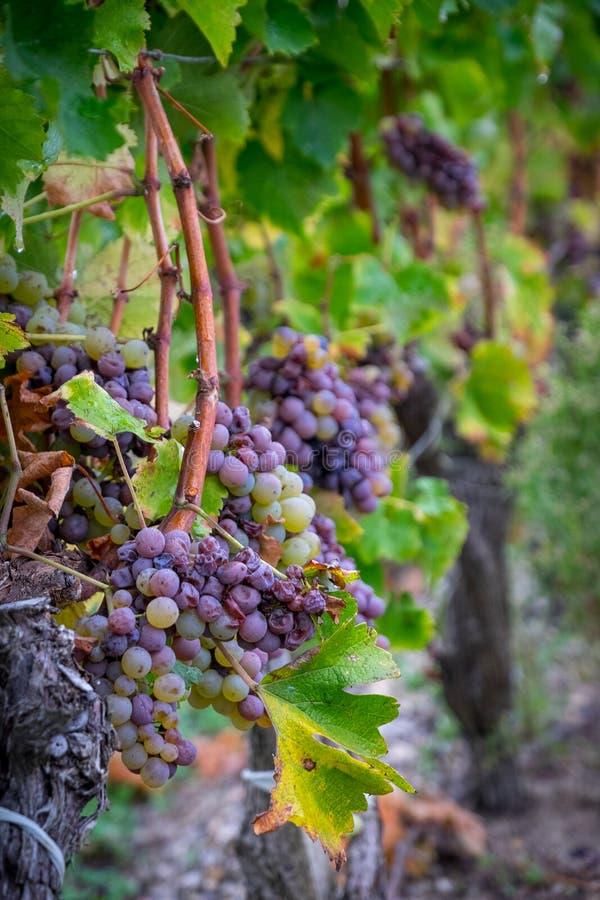 Grupos Mouldy de uvas brancas doces dos Sauternes foto de stock