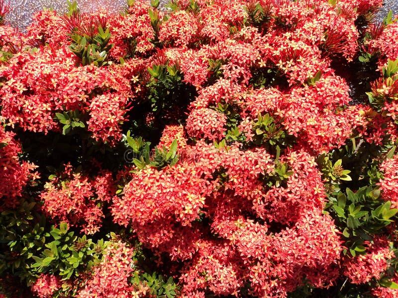 Grupos vermelhos da flor imagens de stock royalty free