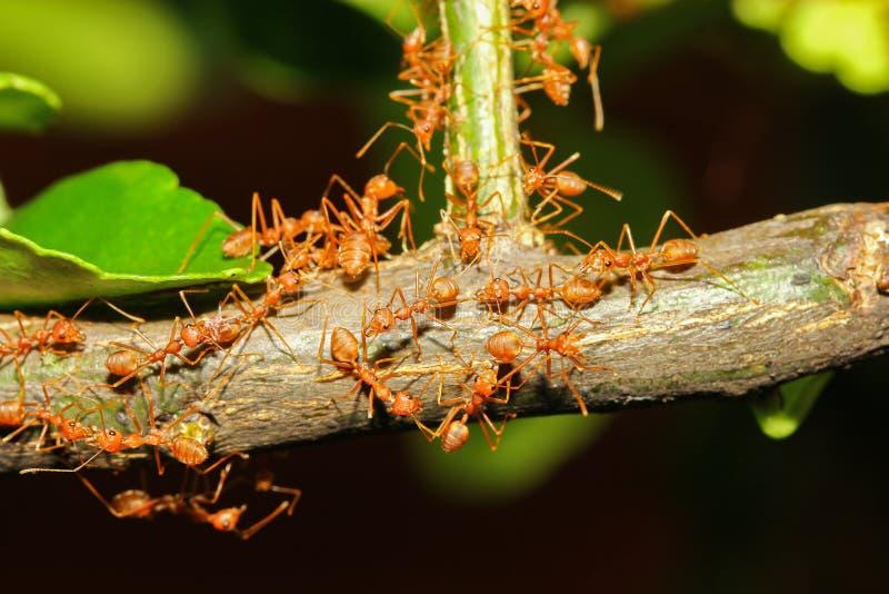 grupowa czerwona mrówka na kija drzewie w naturze przy lasowym Thailand fotografia royalty free