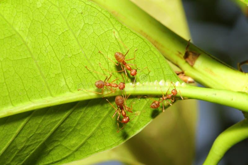 grupowa czerwona mrówka na liściu zdjęcie royalty free
