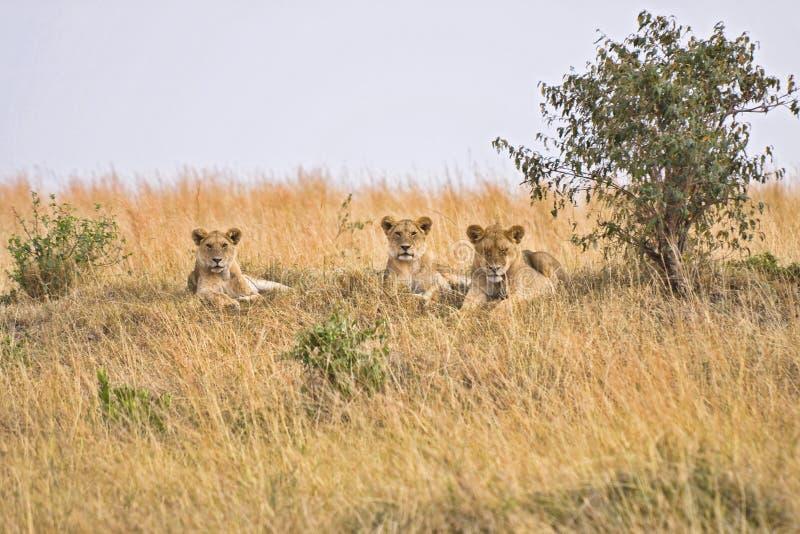grupowi kobieta lwy obraz royalty free
