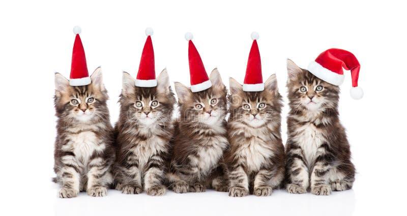 grupowy Maine coon koci się w czerwonych Santa kapeluszach Odizolowywający na bielu zdjęcia stock