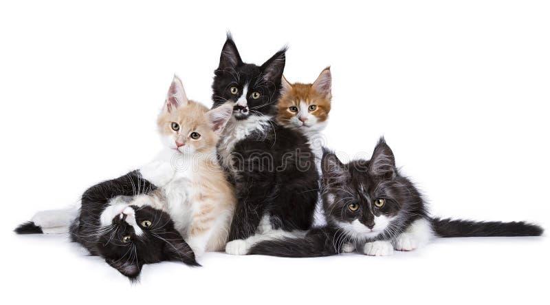 Grupowy op Maine Coon koci się koty odizolowywających na białym tle obraz royalty free