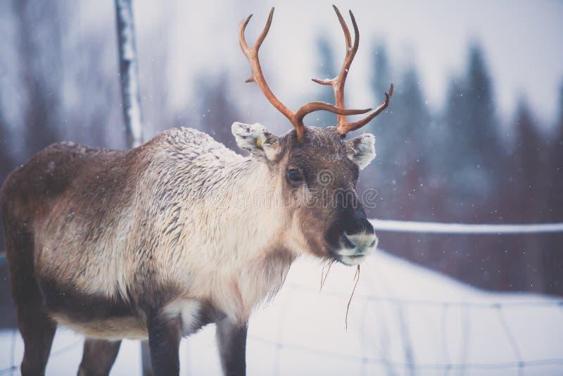 Grupowy stado caribou renifery wypasa w śnieżnym krajobrazie, Północny Finlandia blisko Norwegia granicy, Lapland obraz stock