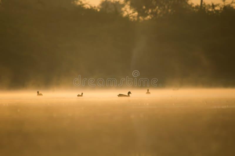 Grupp av änder i floden i guld- ljus för otta arkivfoton