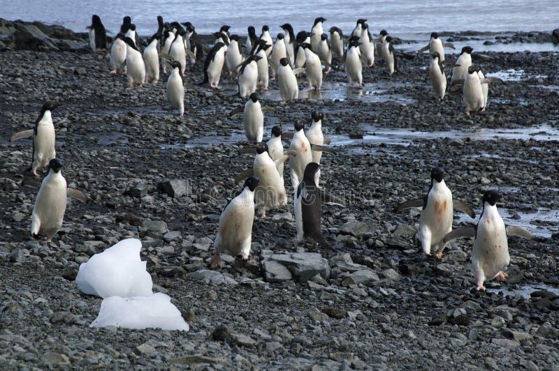 Grupp av adeliepingvinet som ankommer på stranden med iskvarter fotografering för bildbyråer