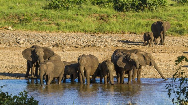 Grupp av afrikanska buskeelefanter i flodstranden, Kruger nationalpark royaltyfria bilder