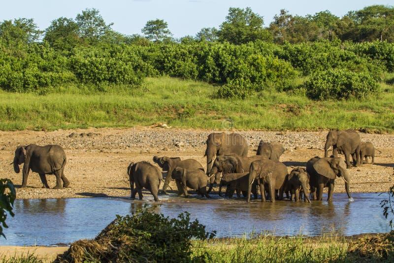 Grupp av afrikanska buskeelefanter i flodstranden, Kruger nationalpark arkivfoto