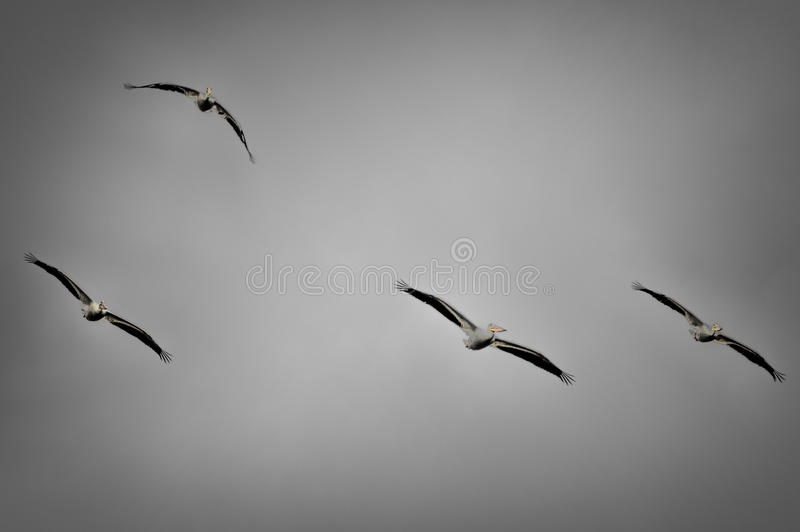 Grupp av amerikanska vita pelikan i flykten royaltyfria bilder