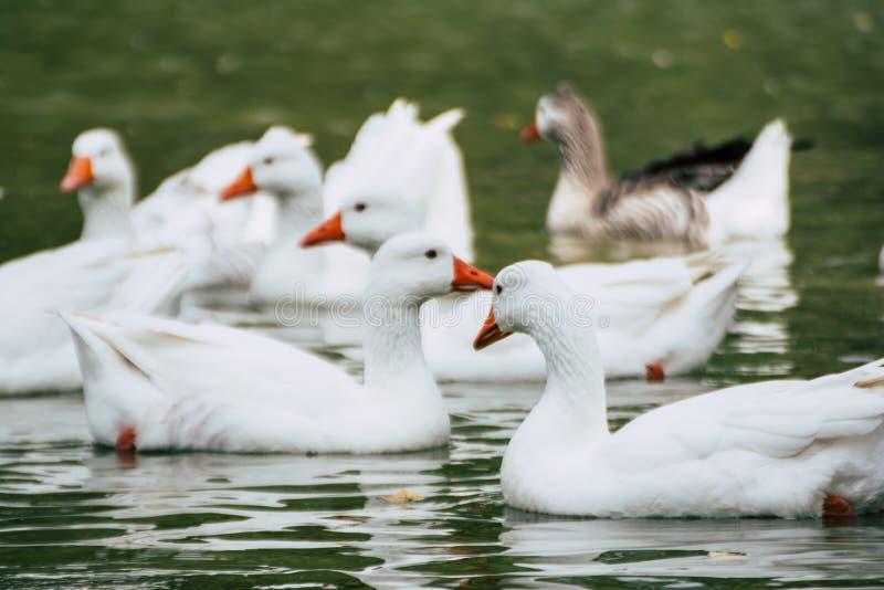Grupp av andgäss som simmar i dammet arkivfoton