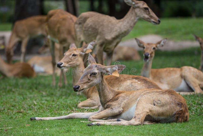 Grupp av antilophjortsammanträde på gräset royaltyfria foton