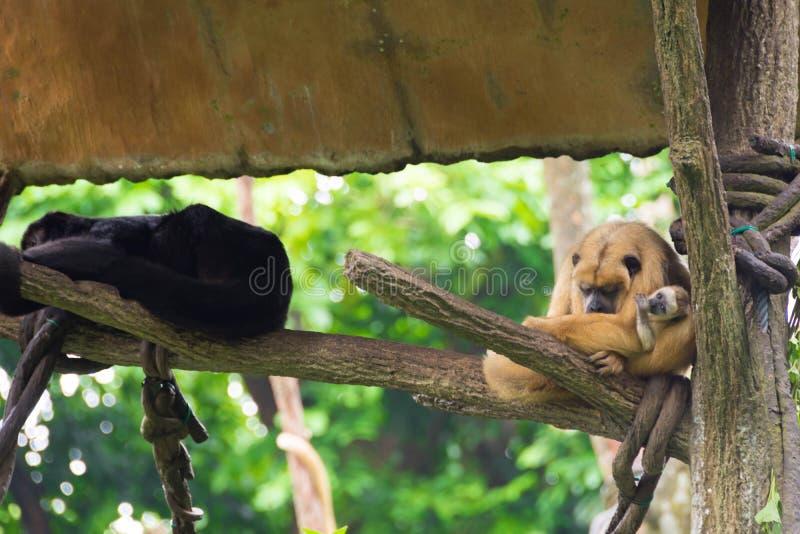 Grupp av apan som vilar på ett trädhus royaltyfri foto