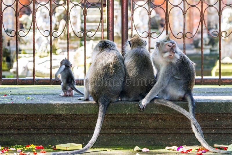 Grupp av apor som baksidt sitter till kameran arkivbilder