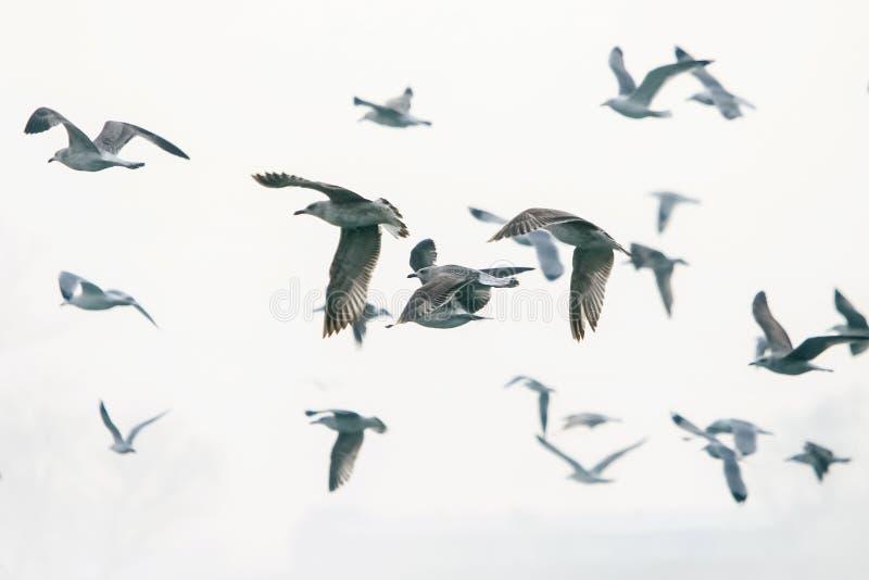 Grupp av att flyga för fiskmåsar arkivfoto
