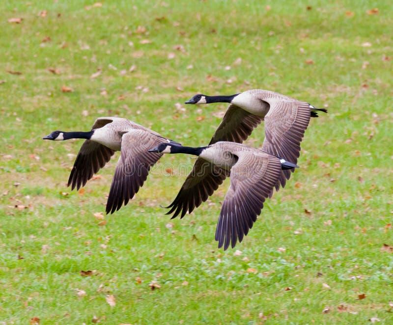 Grupp av att flyga för Kanada gäss royaltyfria foton
