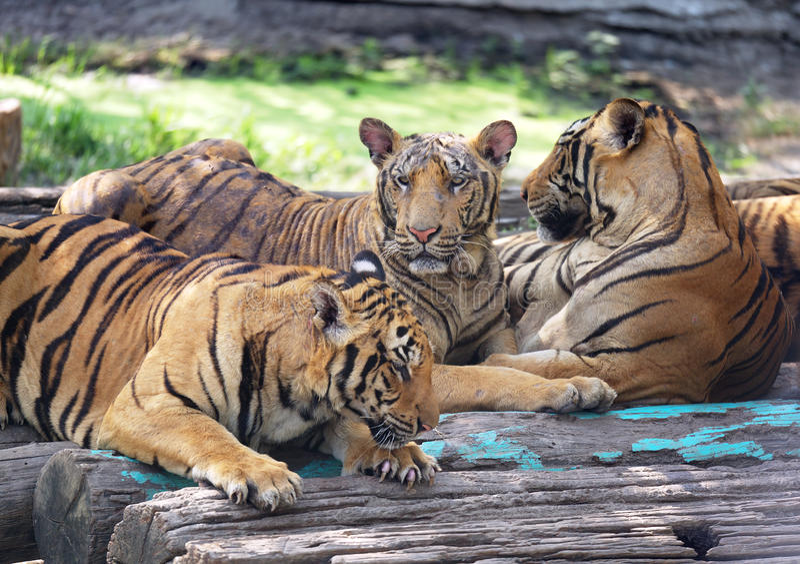 Grupp av att koppla av för tigrar royaltyfri fotografi