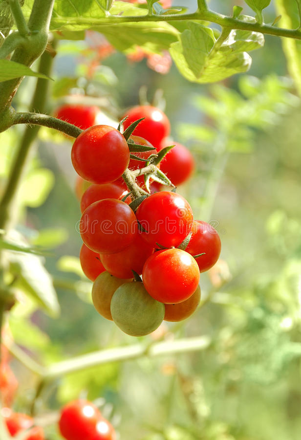 Växande tomater royaltyfri bild