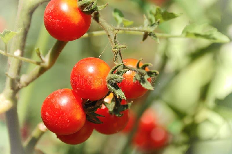 Växande tomater arkivfoton