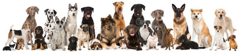 Grupp av avelhundkapplöpning