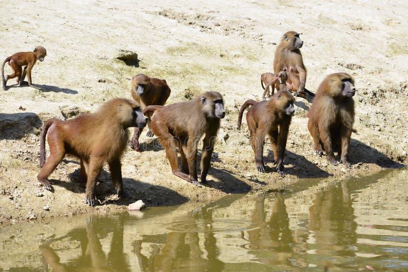Grupp av babianer arkivbilder
