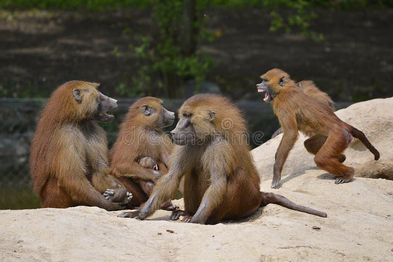 Grupp av babianer fotografering för bildbyråer