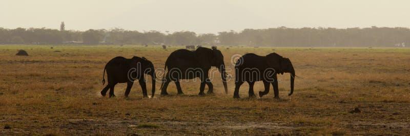 Grupp av backlit elefantseens royaltyfri fotografi