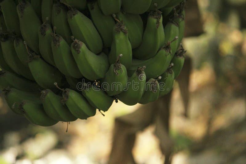 Grupp av bananen som hänger från träd royaltyfri foto