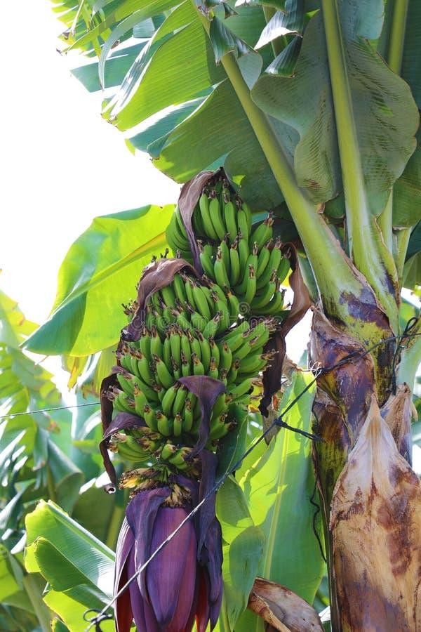 Grupp av bananer med bananblomningen royaltyfria foton