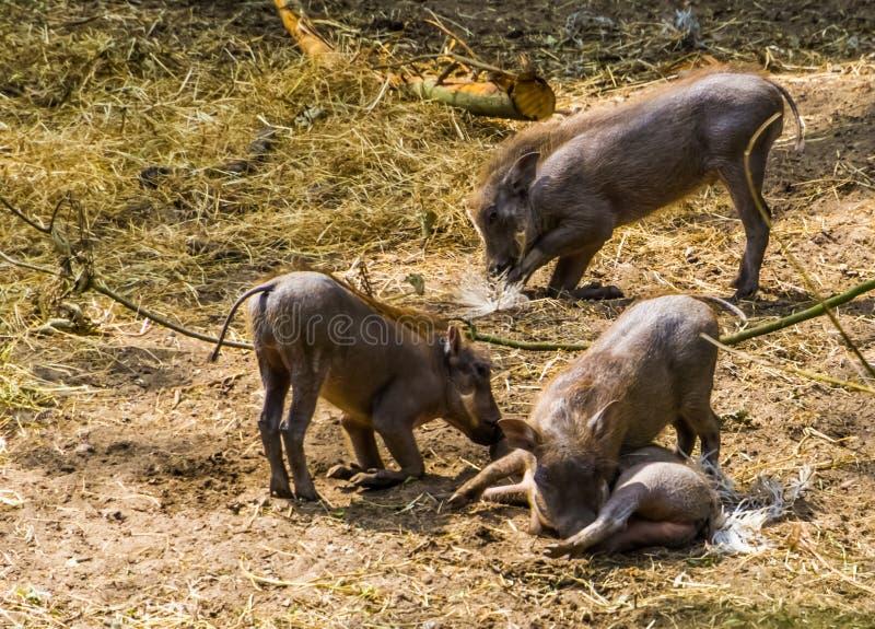 Grupp av barnsliga gemensamma vårtsvin som tillsammans spelar, tropisk lös svinspecie från Afrika arkivbilder