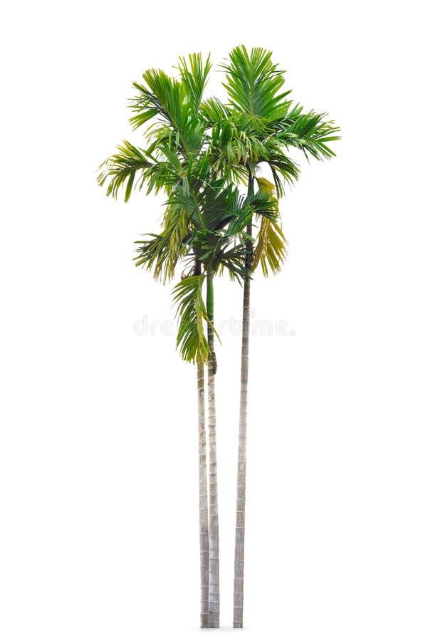 Grupp av betelpalmträd som isoleras på vit royaltyfri bild