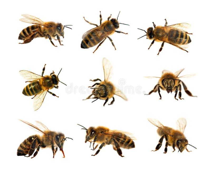 Grupp av biet eller honungsbit i latinska västra honungbin för Apis som Mellifera, europeiskt eller isoleras på den vita bakgrund royaltyfri foto
