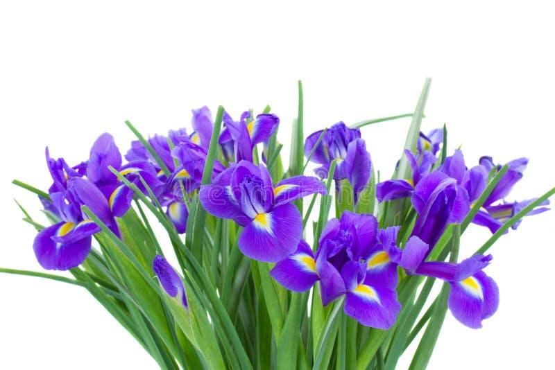 Grupp av blåa iriseblommor royaltyfri bild