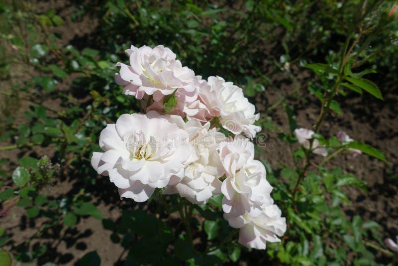 Grupp av blekt - rosa halv-dubblett blommor av rosen royaltyfri bild