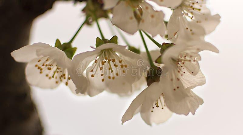 Grupp av blommor för körsbärsrött träd i en vit bakgrund blommar white royaltyfria foton