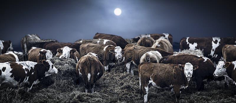 Grupp av bovines royaltyfri bild