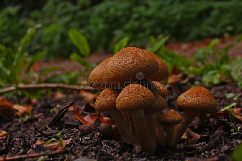 Grupp av bruna champinjoner på en röjning i skogen i höst arkivfoto