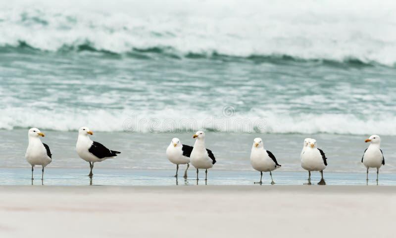 Grupp av brunalgfiskmåsar på en sandig strand fotografering för bildbyråer