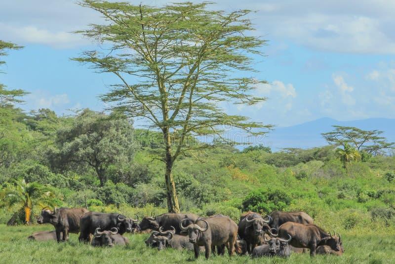 Grupp av buffeln royaltyfri foto