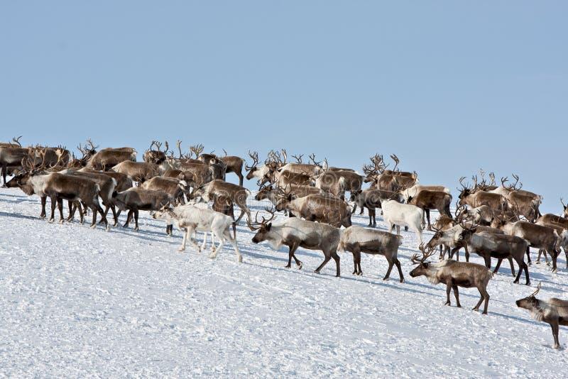 Grupp av caribouen arkivfoton