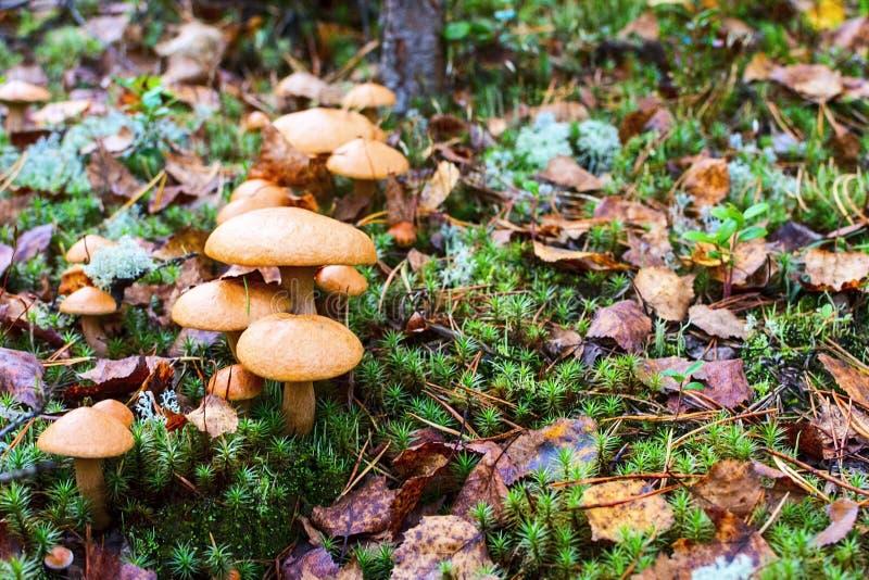 Grupp av champinjoner i skogSuillusbovinusen arkivfoto