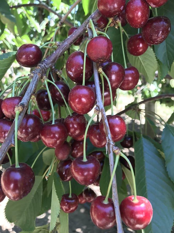 Grupp av Cherry arkivfoto