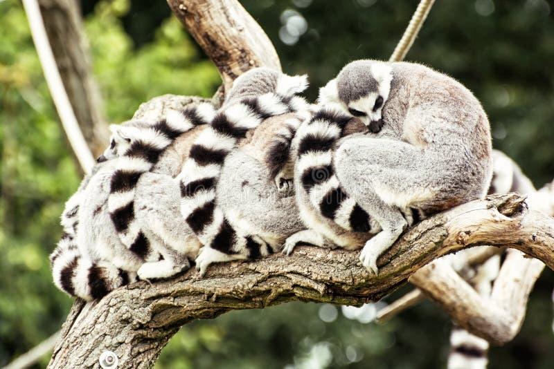 Grupp av Cirkel-tailed makier (makicatta) som vilar på trädbren royaltyfri bild