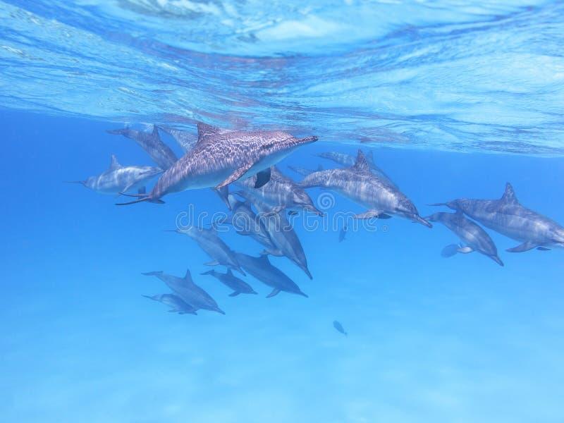 Grupp av delfin i det tropiska havet som är undervattens- arkivfoto