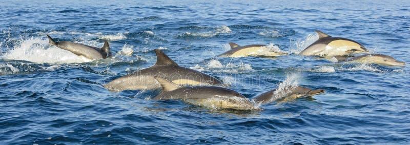 Grupp av delfin som simmar i havet och jagar för fisk royaltyfri foto