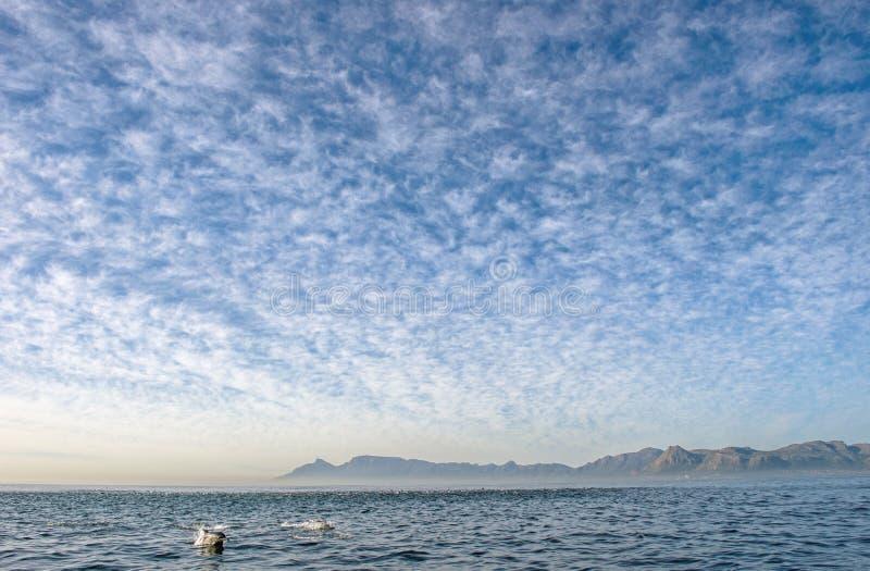 Grupp av delfin som simmar i havet och jagar för fisk arkivfoto