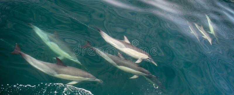 Grupp av delfin, undervattens- simning i havet arkivbilder