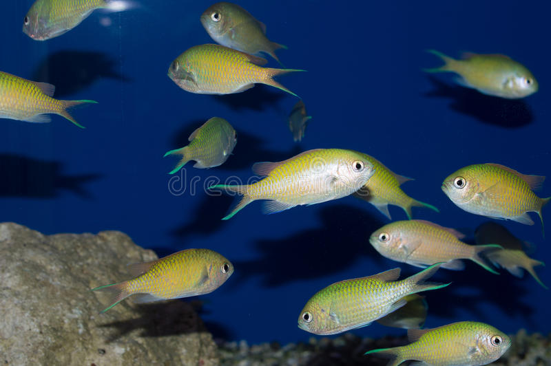 Grupp av den gröna Chromis damselfishen royaltyfria foton